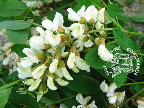 Recette Gelee de fleurs d'acacia au thermomix