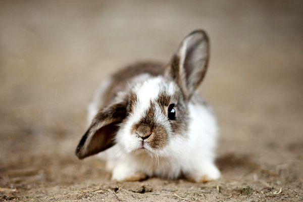 Rillettes de lapin