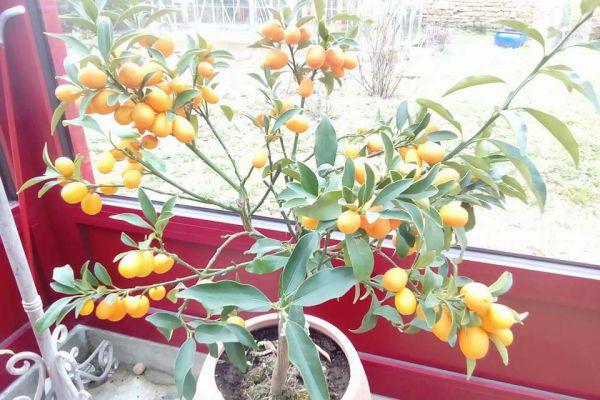Recette Confiture de kumquats Dédée